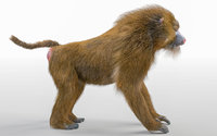 Baboon Monkey Hair Fur Rigged