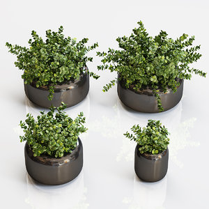 3D model boxwood plants black vase