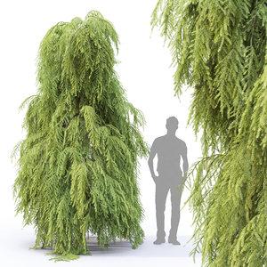 tsuga pendula tree model