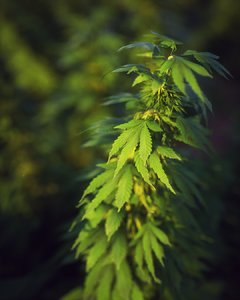 hemp plant model