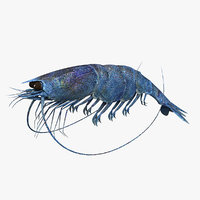 Shrimp Blue