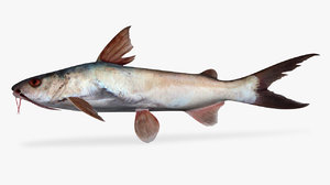 cominate sea catfish 3D model