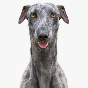3D model realistic greyhound fur 2