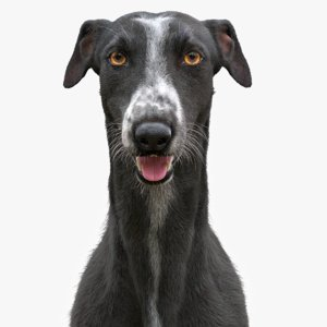 3D model realistic greyhound fur