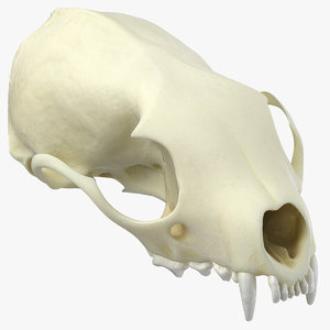 white breasteed marten skull 3D model