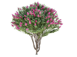 lagerstroemia - crepe myrtle 3D model