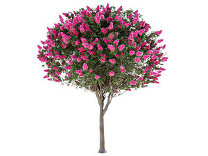 3D lagerstroemia - crepe myrtle