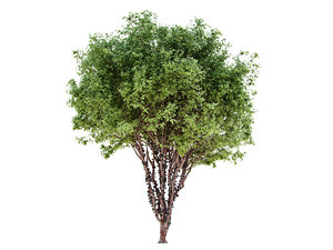 myrciaria cauliflora 3D