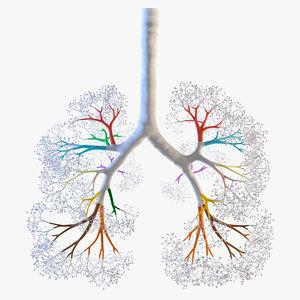 lungs trachea 3D model