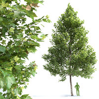 Plane-tree Sycamore Platanus V1