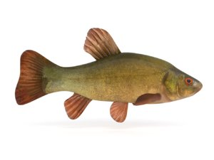 tench fish 3D