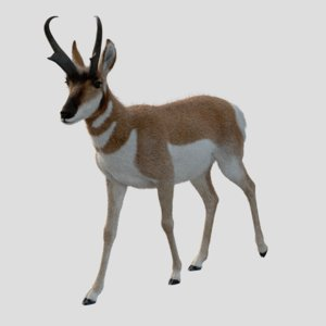 3D model male pronghorn animation