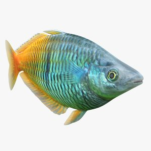 3D model boesemani rainbowfish animation