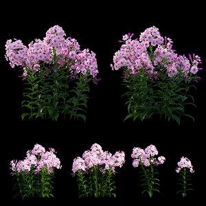3D phlox paniculata frame white