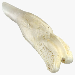 3D dog thigh bone femur model