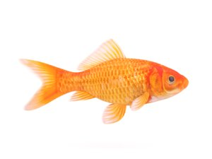 realistic goldfish 3D model