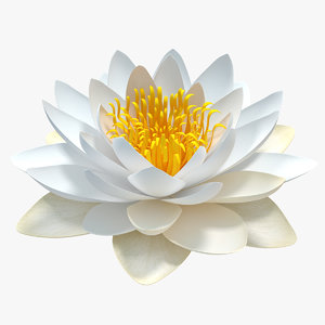 blooming european white water lily 3D model
