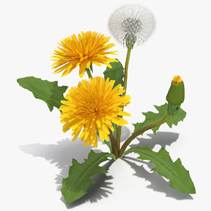 3D dandelion plant taraxacum officinale model