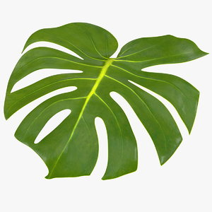 monstera deliciosa leaf 3D model