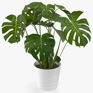 monstera deliciosa tropical plant 3D
