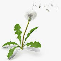 Ripe Dandelion Blowing by the Wind