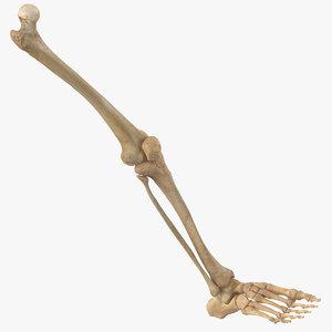 3D model human leg bones anatomy