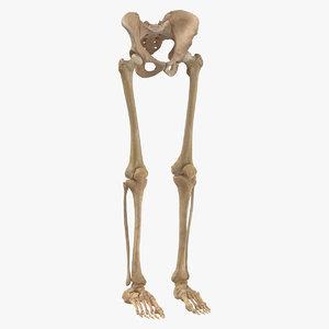 human legs pelvis bones anatomy 3D model