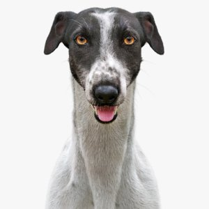 3D realistic greyhound fur model