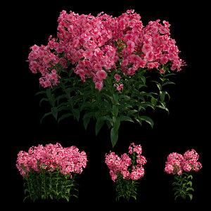 phlox paniculata red flowers 3D