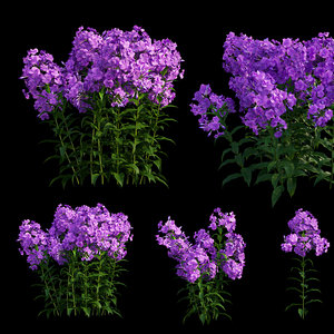 3D phlox paniculata purple