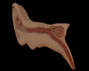 3D ear anatomy model