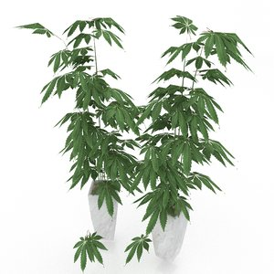 3D cannabis plant model