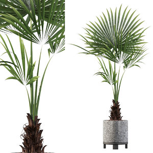 3D washingtonia filifera model