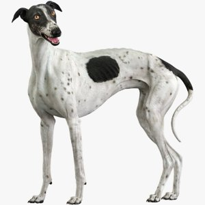 3D realistic greyhound rigged model