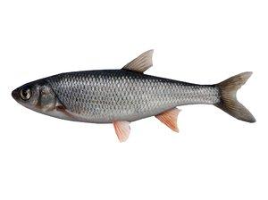 fish carp 3D model