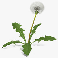Ripe Dandelion Plant