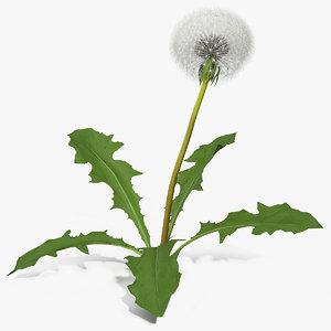 3D ripe dandelion plant