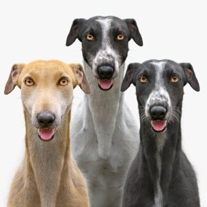 greyhound dogs fur 3D