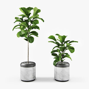 plant ficus lyrata 3D model