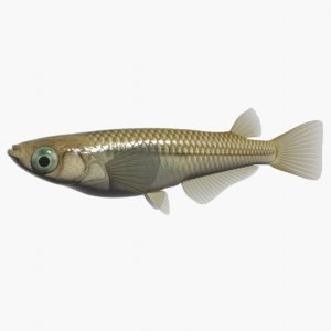 japanese rice fish swimming 3ds