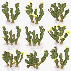 opuntia microdasy cactus plant 3D