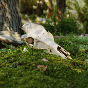 deer head bone 3D model