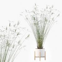 Cyperus papyrus 03