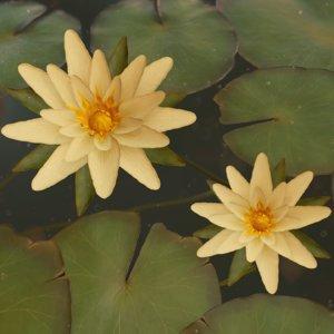 water lilies ready pbr 3D model
