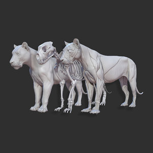 animal lion anatomy skin 3D