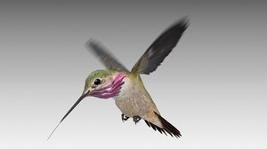 calliope hummingbird 3D