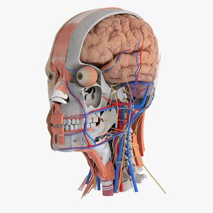 3D human head anatomy model