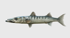 barracuda fish model