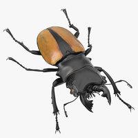 Giant Stag Beetle Odontolabis Ludekingi