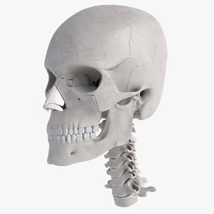 3D model human skull anatomy